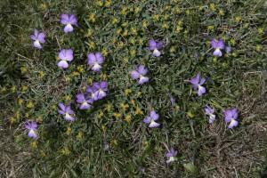 violettes corses